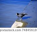 鳥兒 鳥 黑鴨 74845619