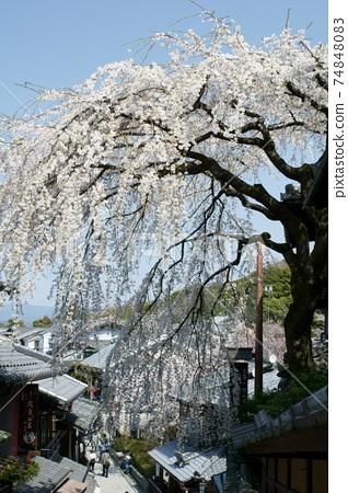 Kyoto Shimizu weeping cherry tree 74848083