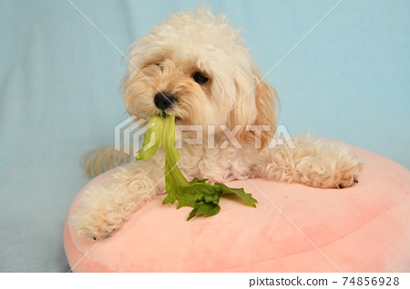 Maltipoo eating lettuce 74856928