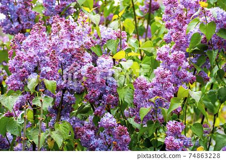 purple lilac background. soft natural texture. romantic invitation card concept 74863228