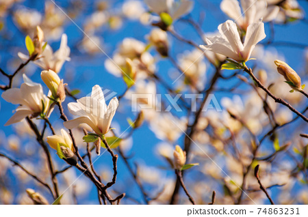 white magnolia blossom in the garden. springtime nature background on a sunny day. delicate flowers close up. romantic card concept 74863231