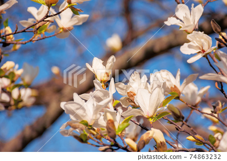 white magnolia blossom in the garden. springtime nature background on a sunny day. delicate flowers close up. romantic card concept 74863232