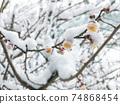 白梅花與雪 74868454