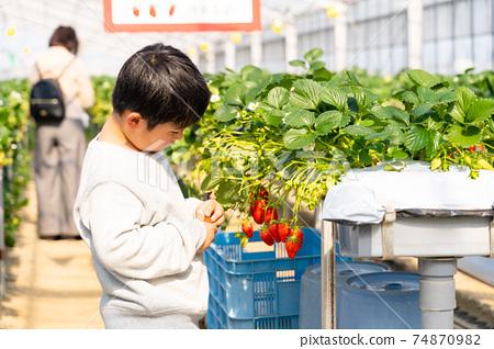 草莓採摘男孩小學生 74870982