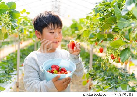 草莓採摘男孩小學生 74870983
