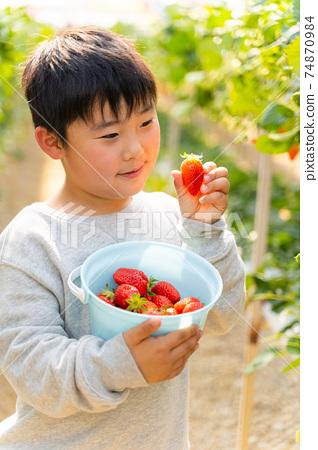 草莓採摘男孩小學生 74870984