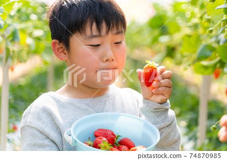 草莓採摘男孩小學生 74870985