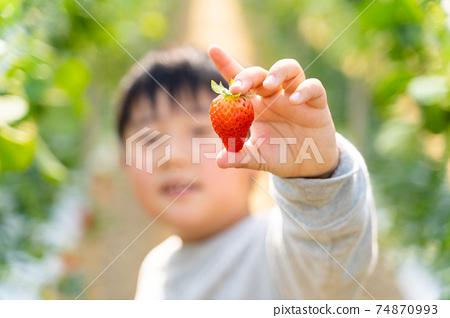 草莓採摘男孩小學生 74870993