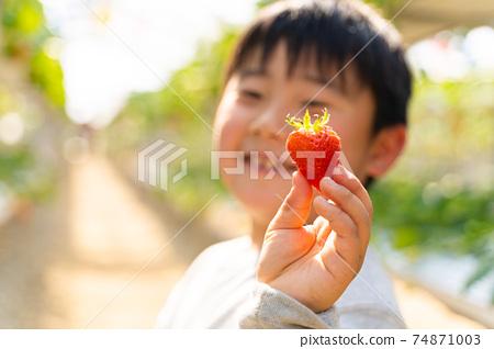 草莓採摘男孩小學生 74871003