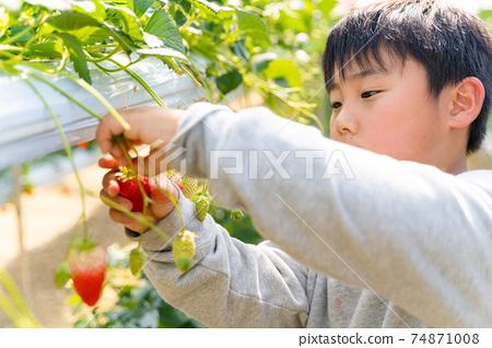 草莓採摘男孩小學生 74871008