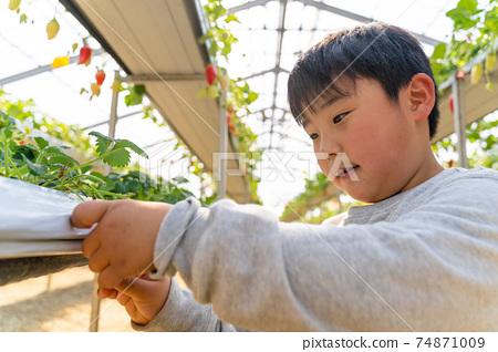 草莓採摘男孩小學生 74871009