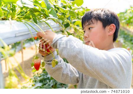 草莓採摘男孩小學生 74871010