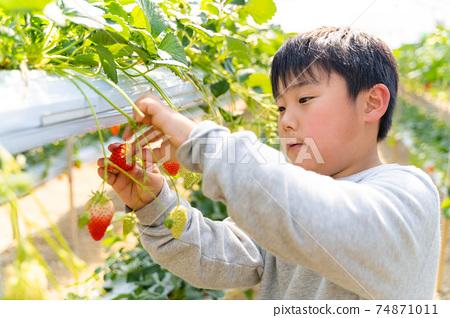 草莓採摘男孩小學生 74871011