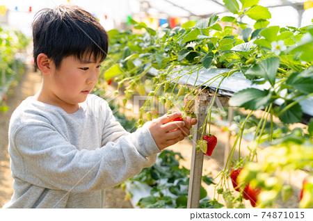 草莓採摘男孩小學生 74871015
