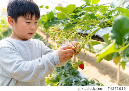 草莓採摘男孩小學生 74871016