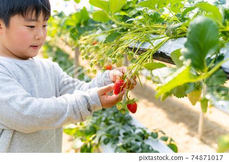 草莓採摘男孩小學生 74871017