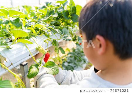 草莓採摘男孩小學生 74871021