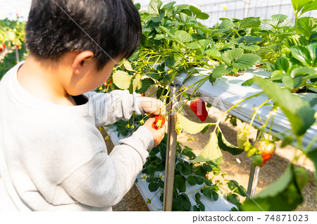草莓採摘男孩小學生 74871023