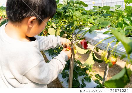 草莓採摘男孩小學生 74871024