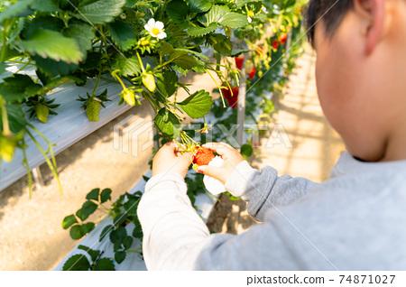 草莓採摘男孩小學生 74871027