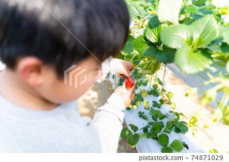 草莓採摘男孩小學生 74871029