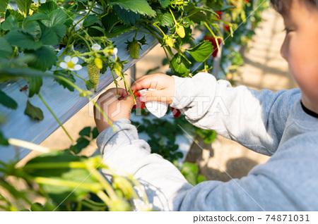 草莓採摘男孩小學生 74871031