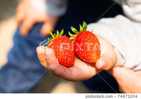草莓採摘男孩小學生 74871034