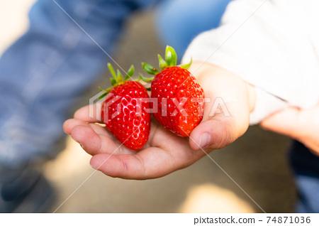 草莓採摘男孩小學生 74871036