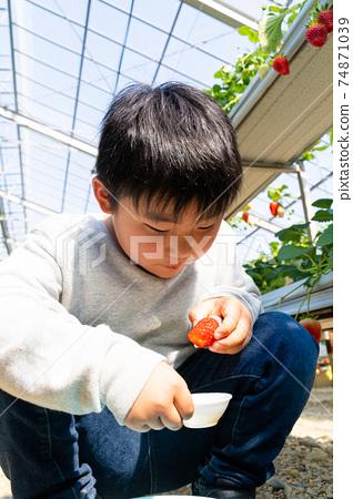 草莓採摘男孩小學生 74871039