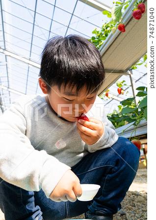 草莓採摘男孩小學生 74871040