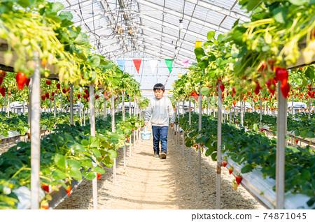 草莓採摘男孩小學生 74871045