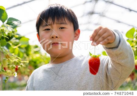 草莓採摘男孩小學生 74871048
