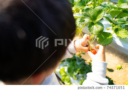 草莓採摘男孩小學生 74871051