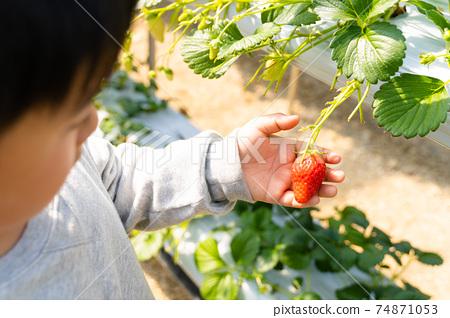 草莓採摘男孩小學生 74871053