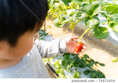 草莓採摘男孩小學生 74871054