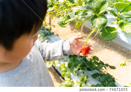 草莓採摘男孩小學生 74871055