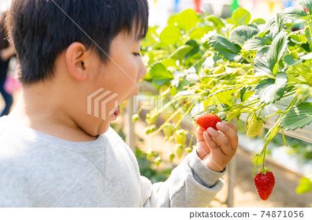 草莓採摘男孩小學生 74871056
