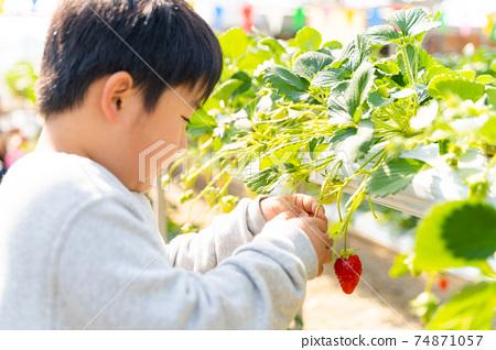 草莓採摘男孩小學生 74871057
