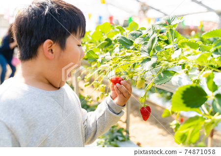 草莓採摘男孩小學生 74871058