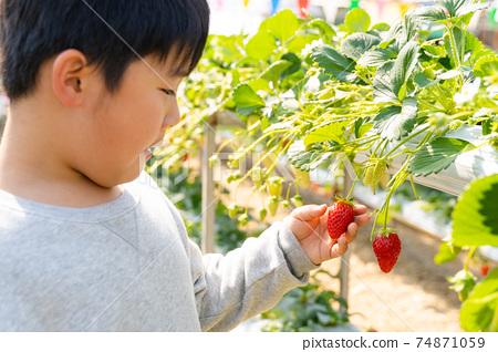 草莓採摘男孩小學生 74871059