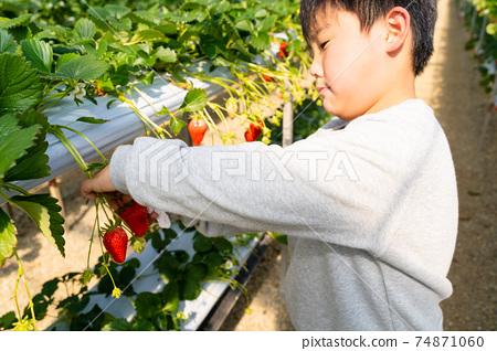 草莓採摘男孩小學生 74871060