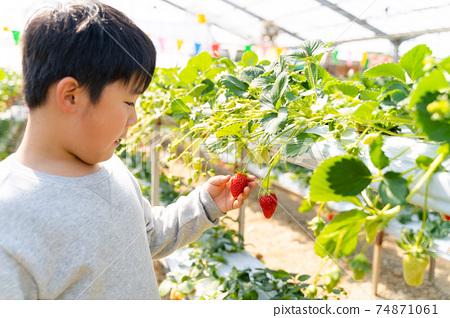 草莓採摘男孩小學生 74871061