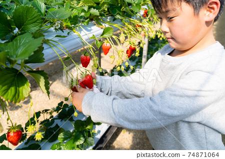 草莓採摘男孩小學生 74871064