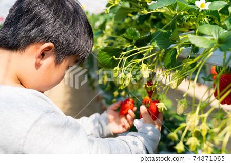 草莓採摘男孩小學生 74871065