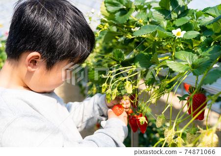草莓採摘男孩小學生 74871066