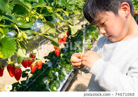 草莓採摘男孩小學生 74871068