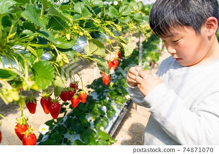草莓採摘男孩小學生 74871070