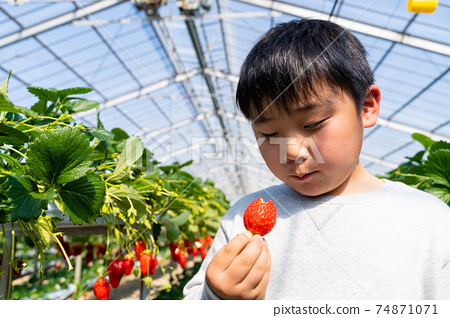草莓採摘男孩小學生 74871071