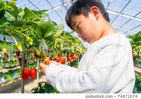 草莓採摘男孩小學生 74871074