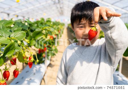 草莓採摘男孩小學生 74871081